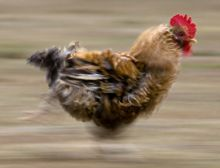 Chicken on the Run - Ensemble